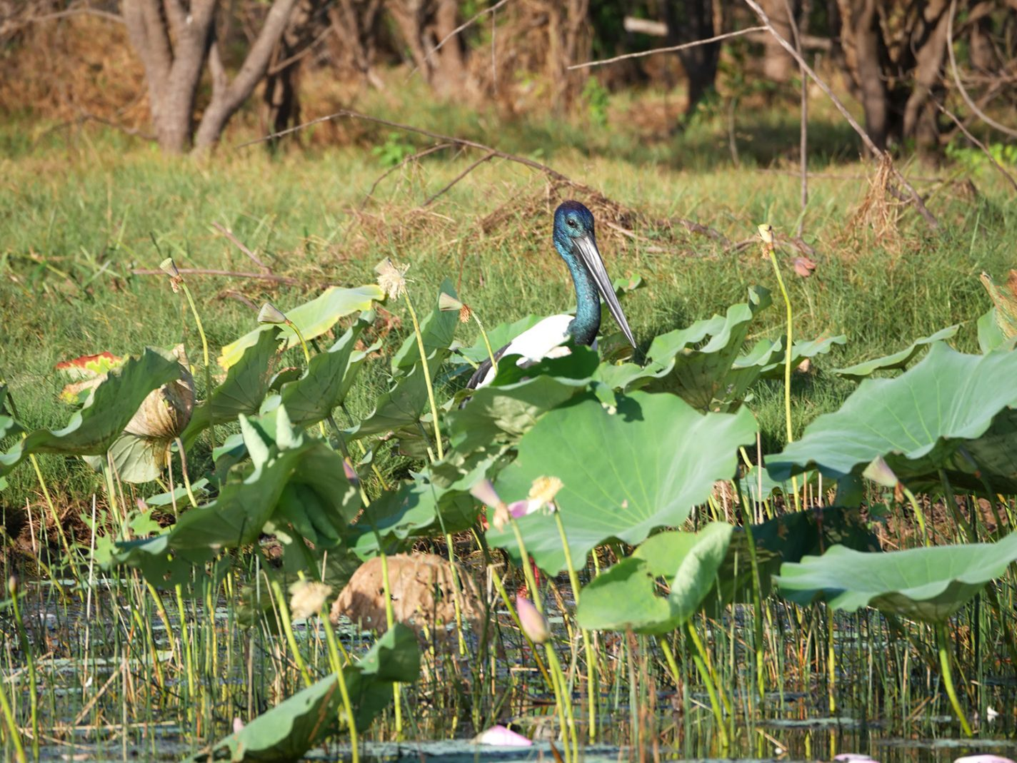 Daar is die prachtige vogel, de Corroboree-jabiru