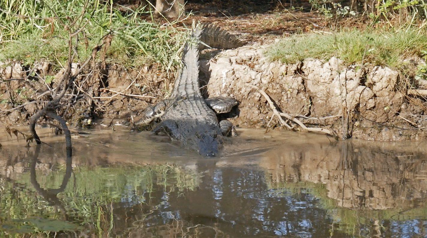Avontuurlijk momentje met een grote zoutwater krokodil