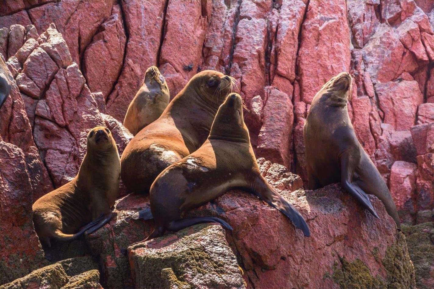 Zeeleeuwen spotten in Natuurreservaat Paracas