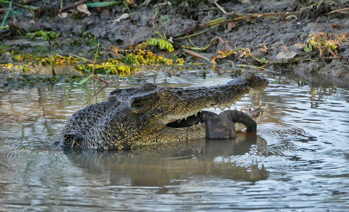 Krokodil met zijn vangst vandaag - een enorme waterslang - Kakadu National Park