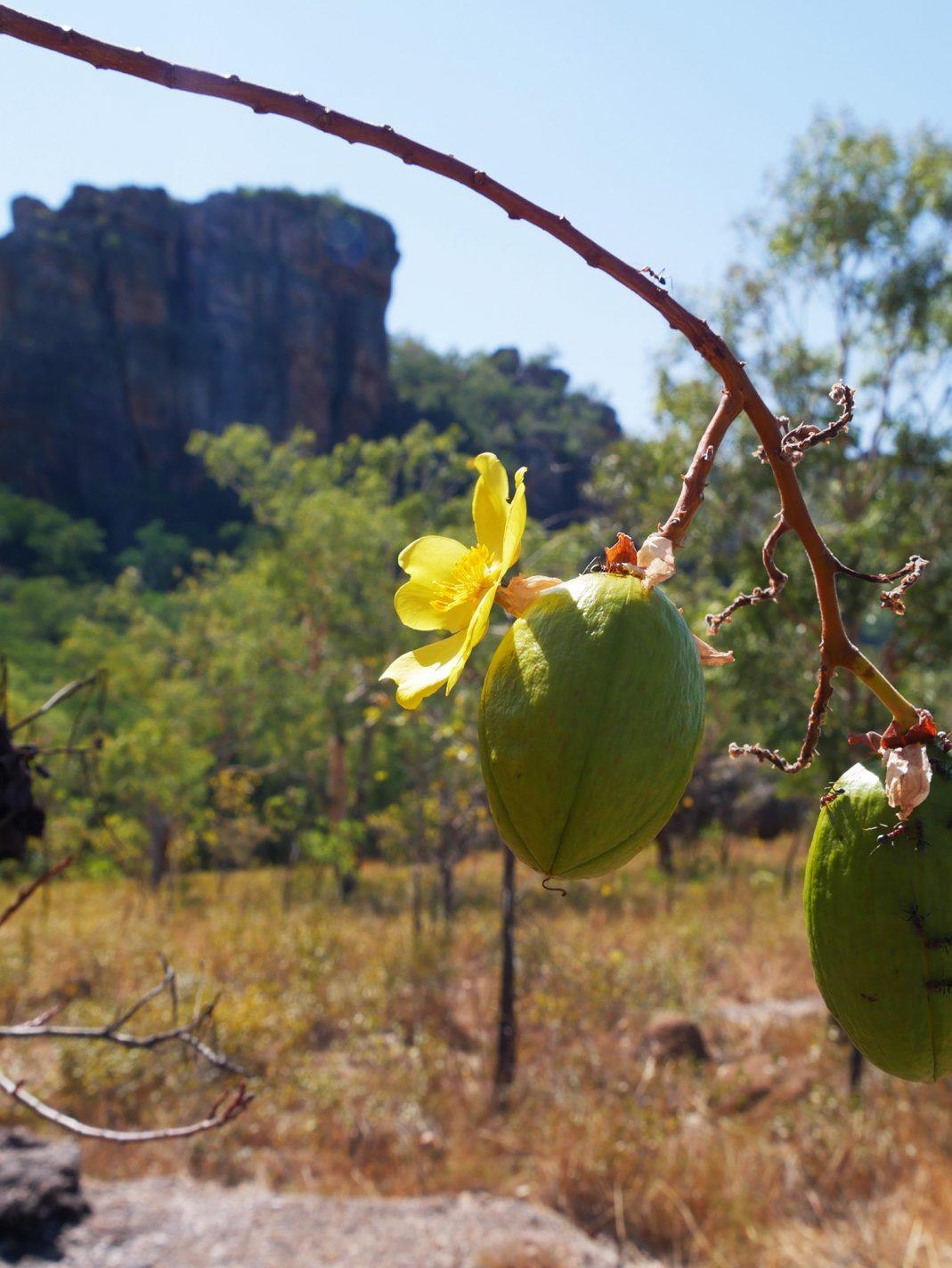 Bomen met gele bloemen en vruchten eraan