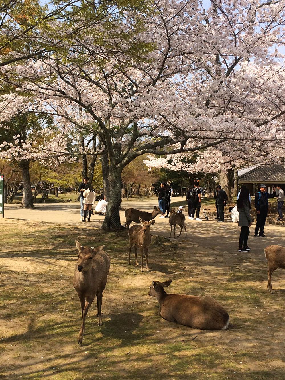 Mooi park met prachtige kersenbloesem bomen