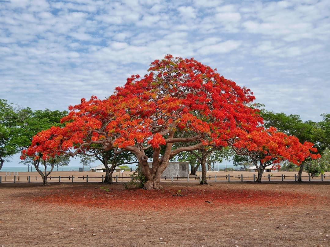Deze foto vind ik heel bijzonder. Gemaakt tijdens het natte seizoen in Darwin. Die rode kleur van de bloesem is zo schitterend, net een schilderij.