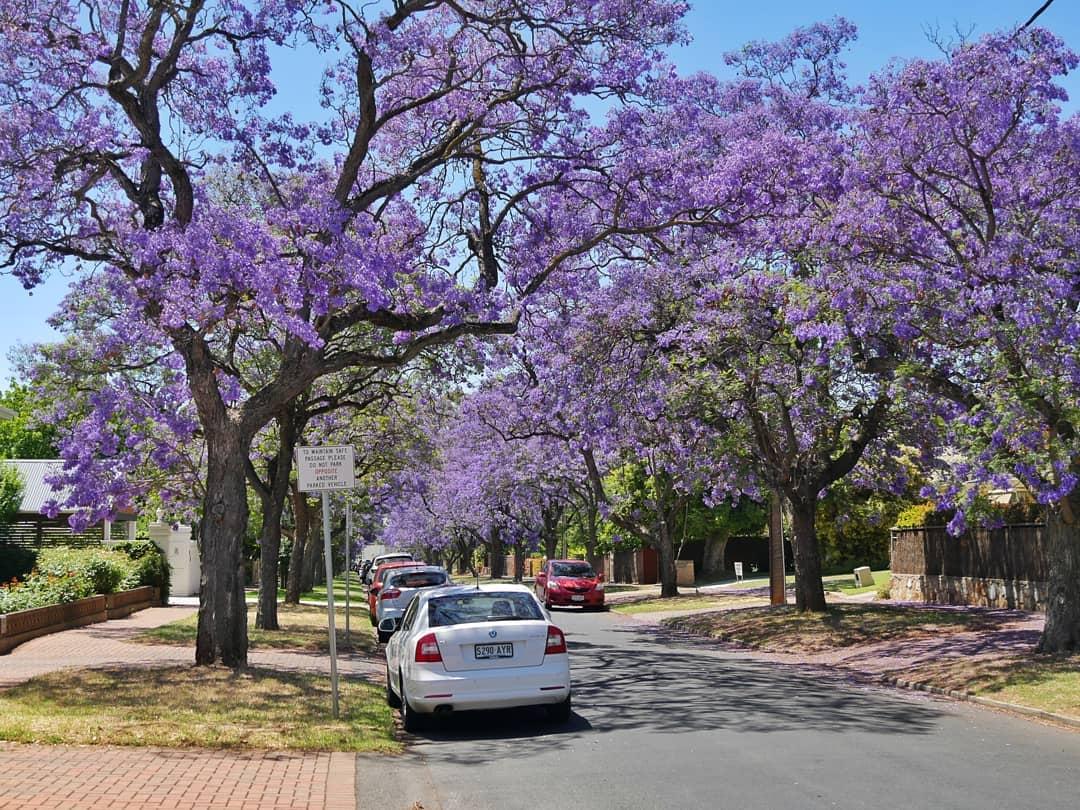 Beste reisfoto - Tijdens ons bezoek aan Adelaide reden wij langs een hele woonwijk met straten vol met deze prachtige bloesem bomen. Nog steeds kan ik ervan genieten als ik deze foto bekijk.