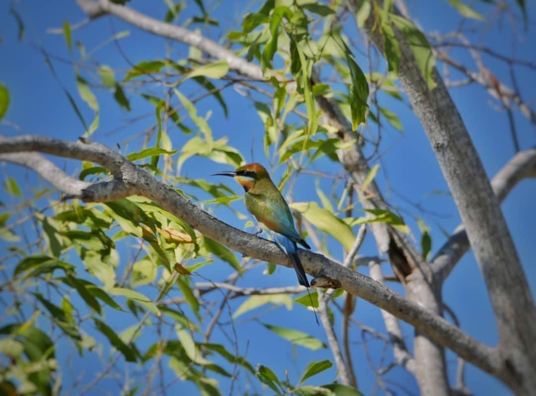 (Rainbow) bee-eaters