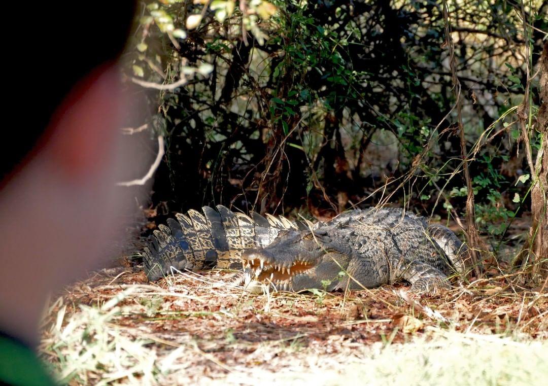 Krokodil langs de kant tijdens de wetland cruise
