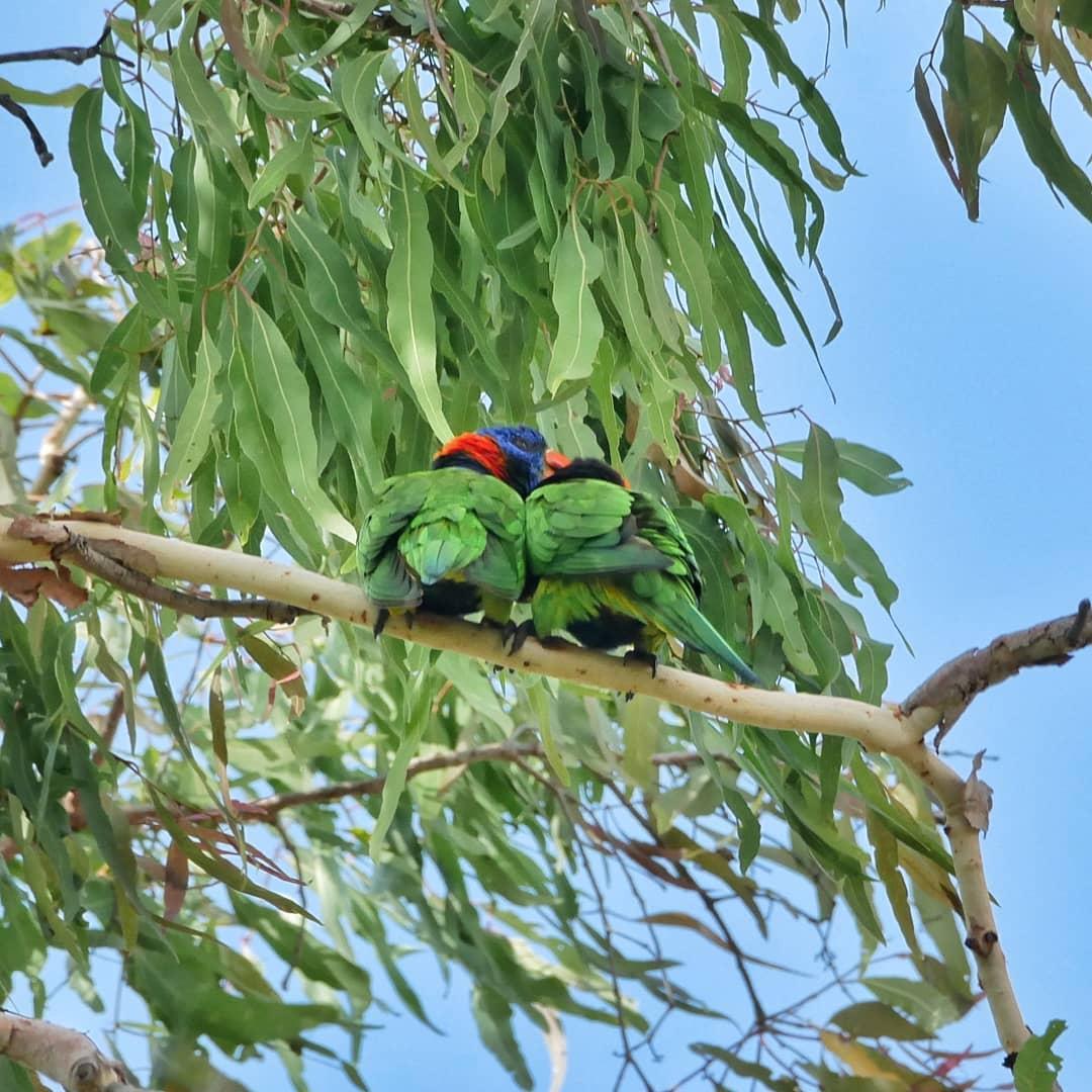 Verliefd stelletje papegaaien - Noordelijk Territorium