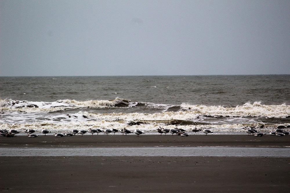 Talloze zilvermeeuwen aan de waterzijde