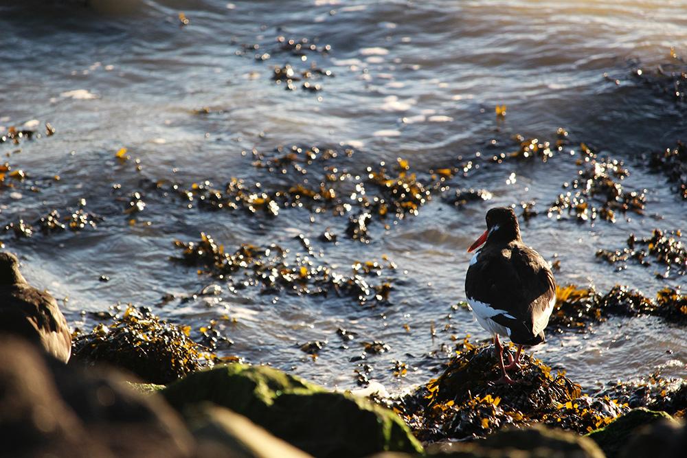 Een scholekster, onder vogelaars ook wel 'bonte piet' genoemd.