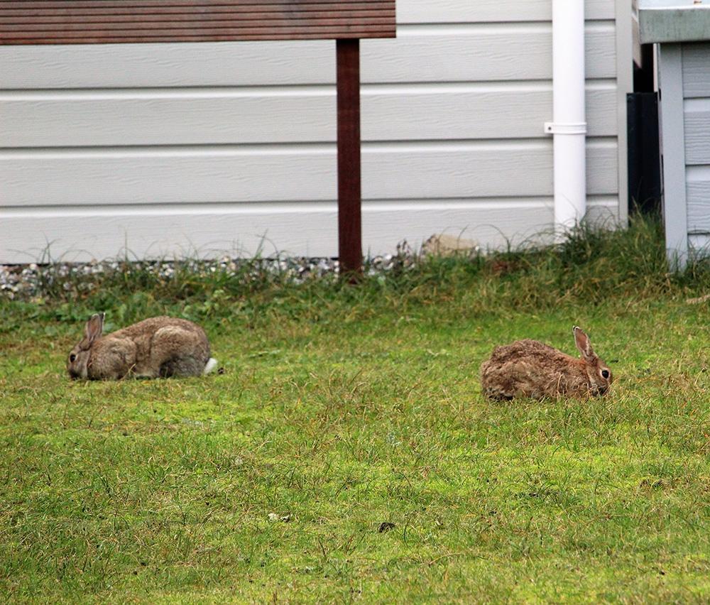 Op Ameland zie je met name aan duinranden, in de buurt van vakantiehuisjes, vele holen. Thuisbasis voor kolonies wilde konijnen.