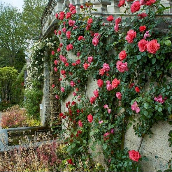 Wilde rozenpracht in Villa Carlotta