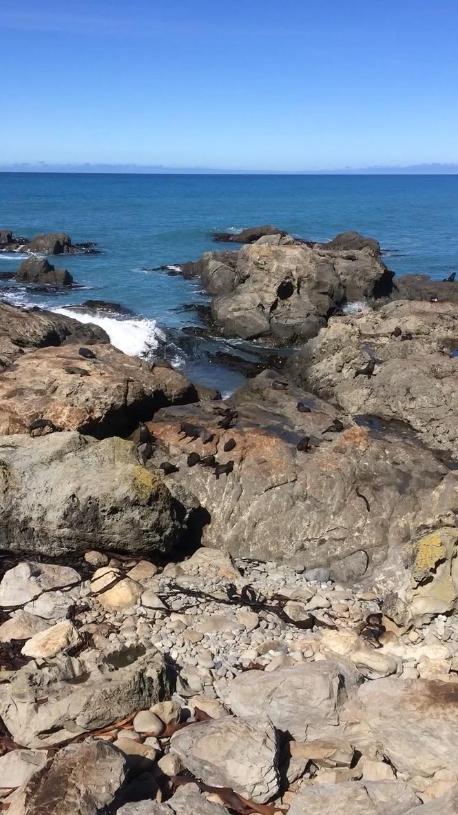Zeehonden bij Kaikoura