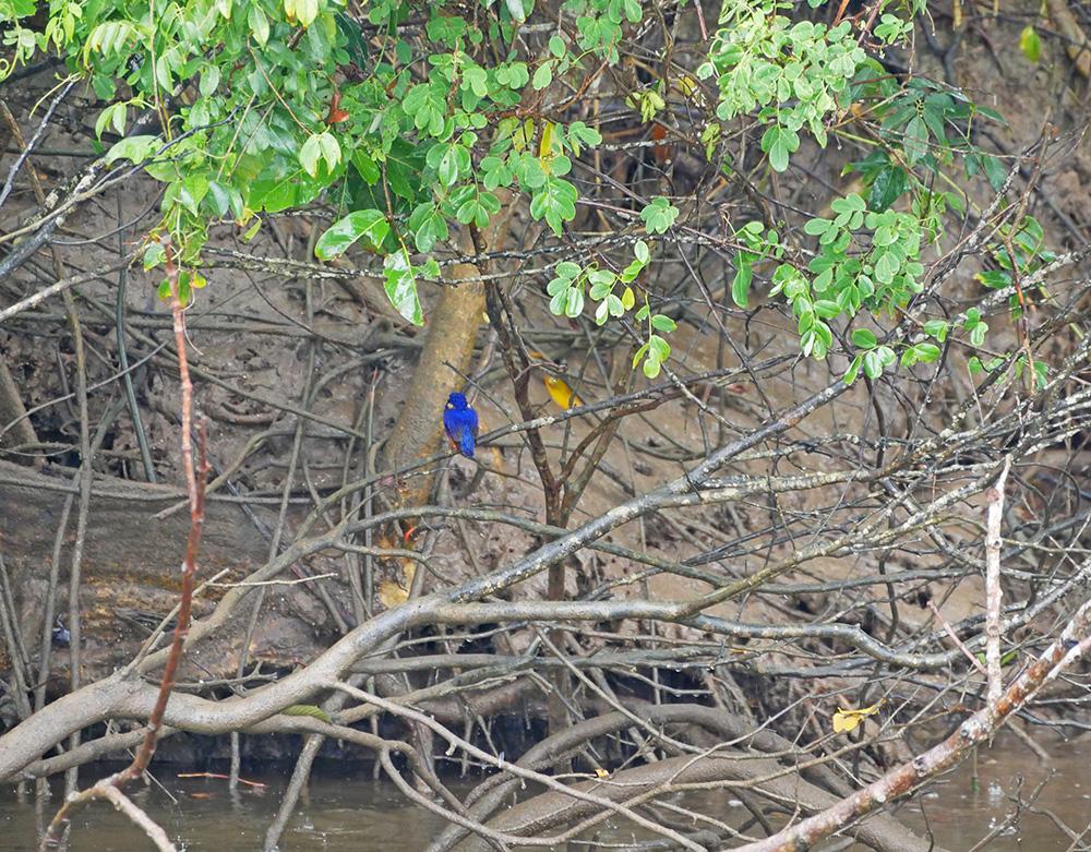 Prachtige blauwe Azure Kingfisher -ijsvogel - Daintree River Cruise