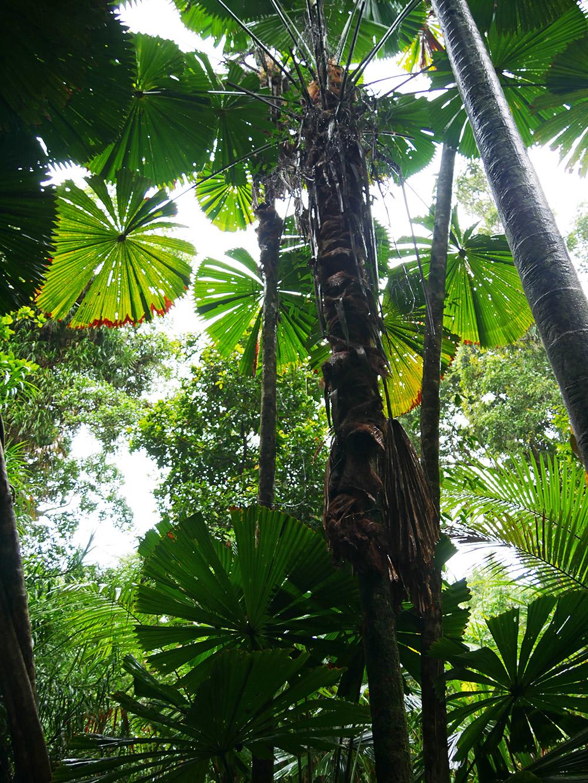 Enorme tropische bomen en planten - Cape Tribulation