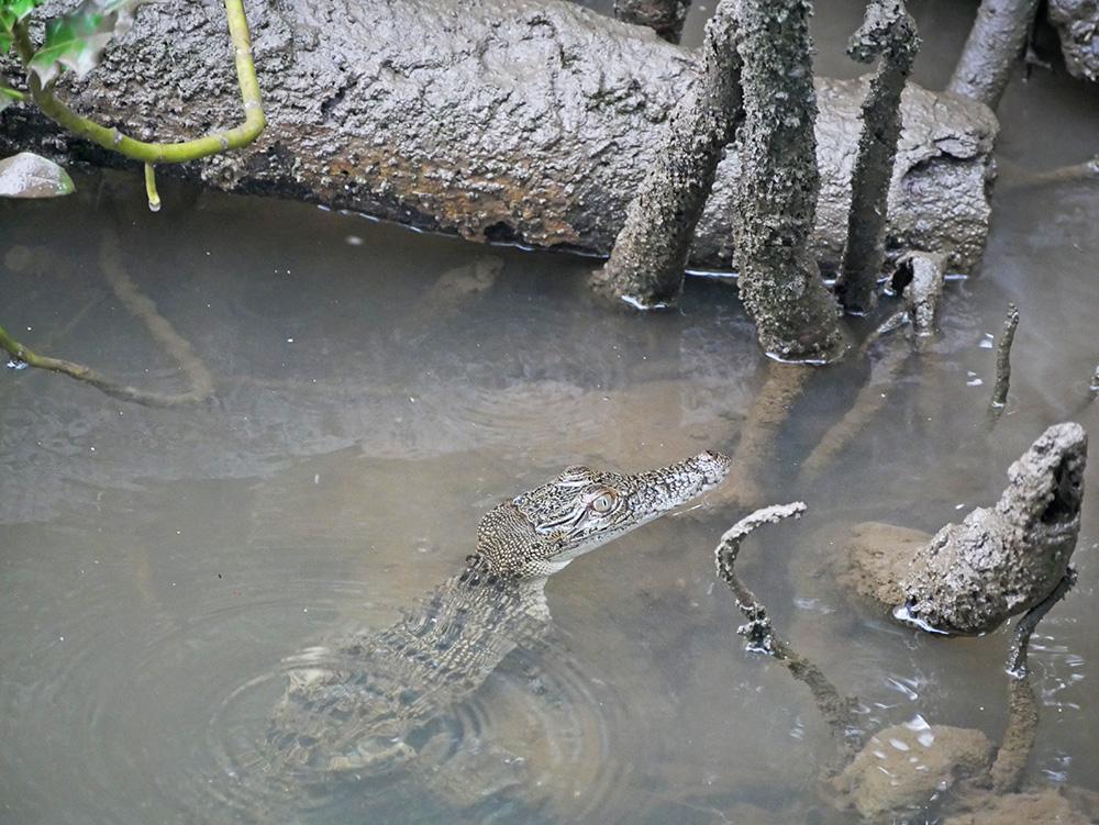 Een nieuwsgierige jonge krokodil - Daintree River Cruise
