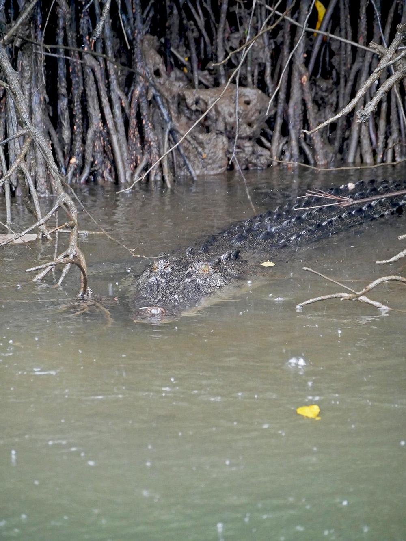 Deze krokodil genoot van de tropische regenbui