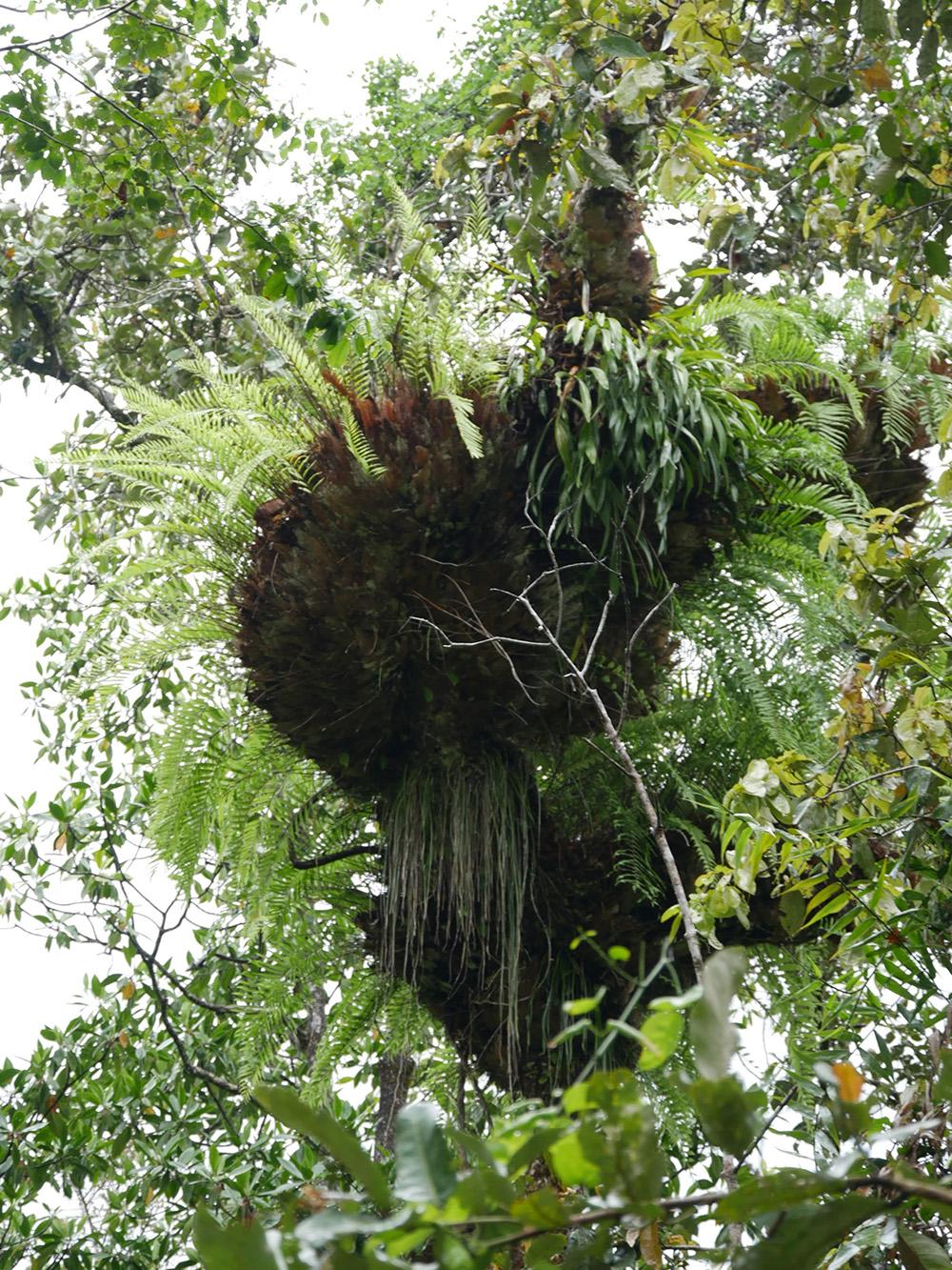 Een grote parasiet groeit aan een boom