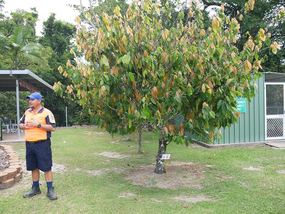 Gerard, de tour guide vertelt meer over de cacaobomen