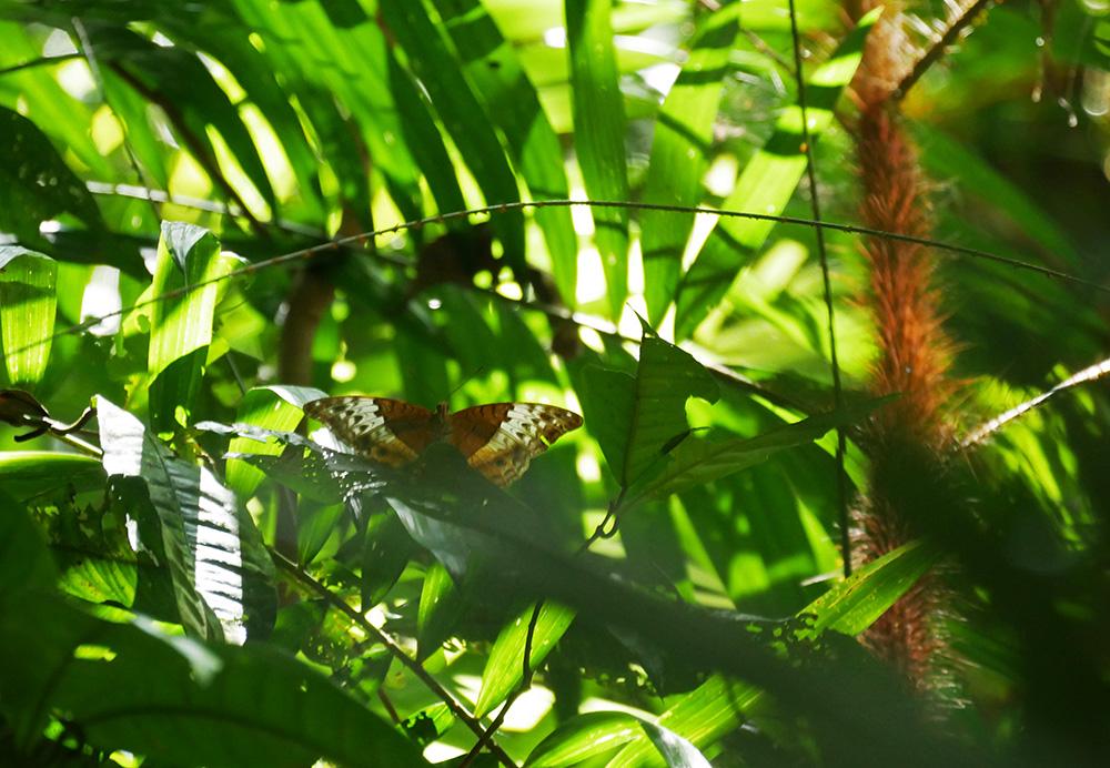 Prachtige vlinder in het regenwoud - Mossman Gorge