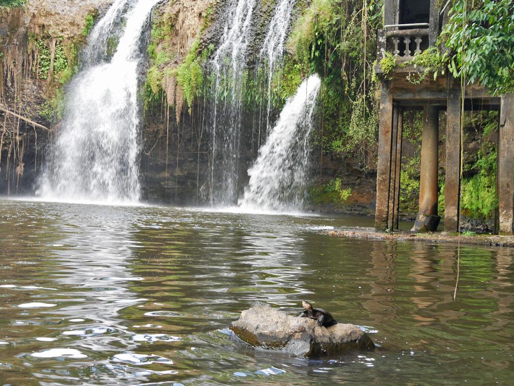 Een schildpad geeft een showtje weg - Paronella Park