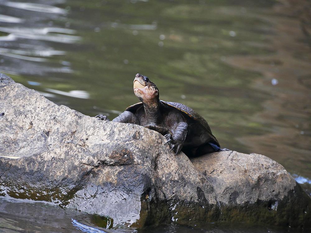 Een schildpad poseert voor de Mena Creek Watervallen