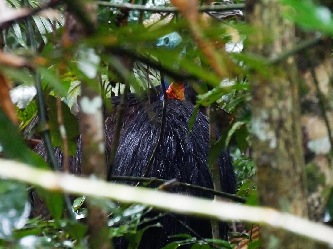 Cassowary tussen de struiken