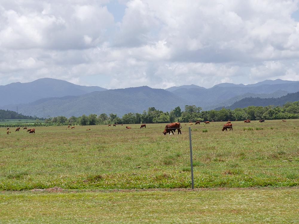 Koeien grazen langs de weg