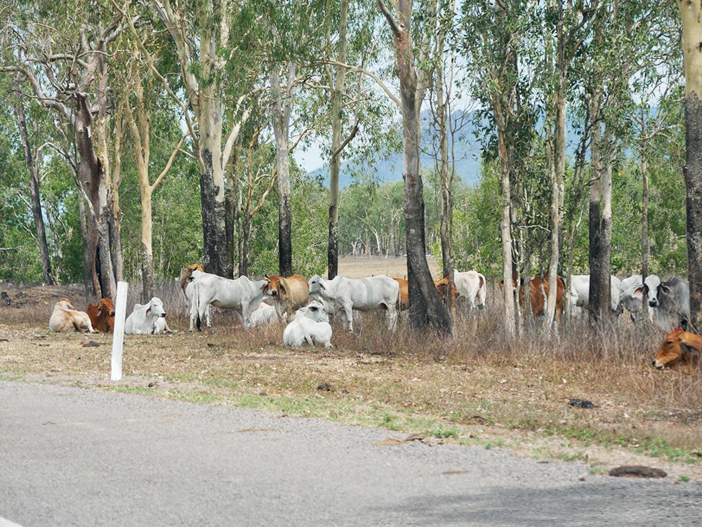 Groepen met koeien langs de weg