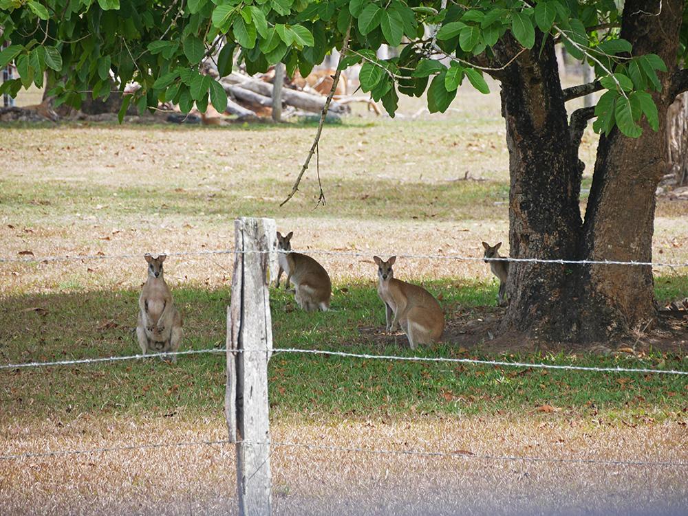 Nieuwsgierige wallabies langs de weg