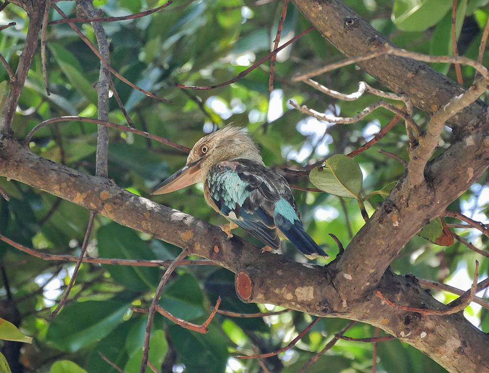 Een mooie blauwgekleurde kookaburra