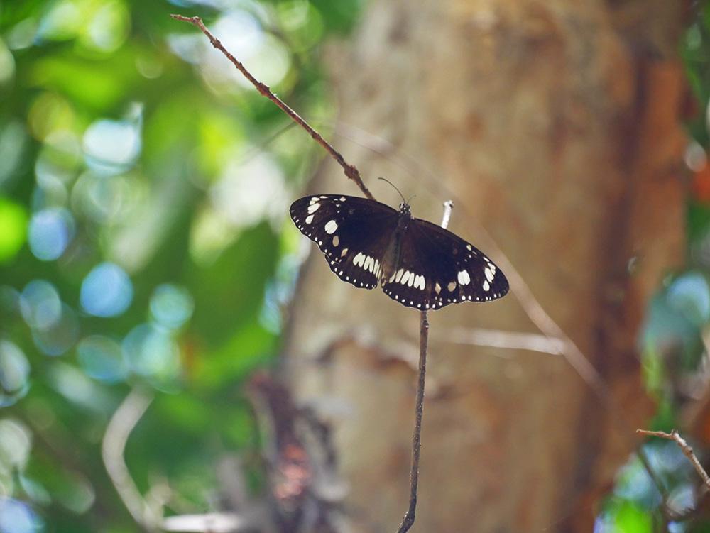Prachtige vlinder - Magnetic Island