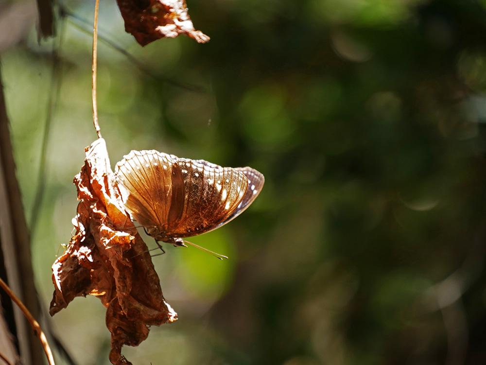 En nog een mooie vlinder op een oud blad - Magnetic Island