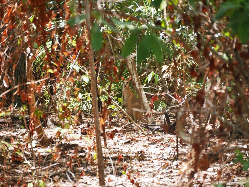 Een wallaby kijkt ons nieuwsgierig aan