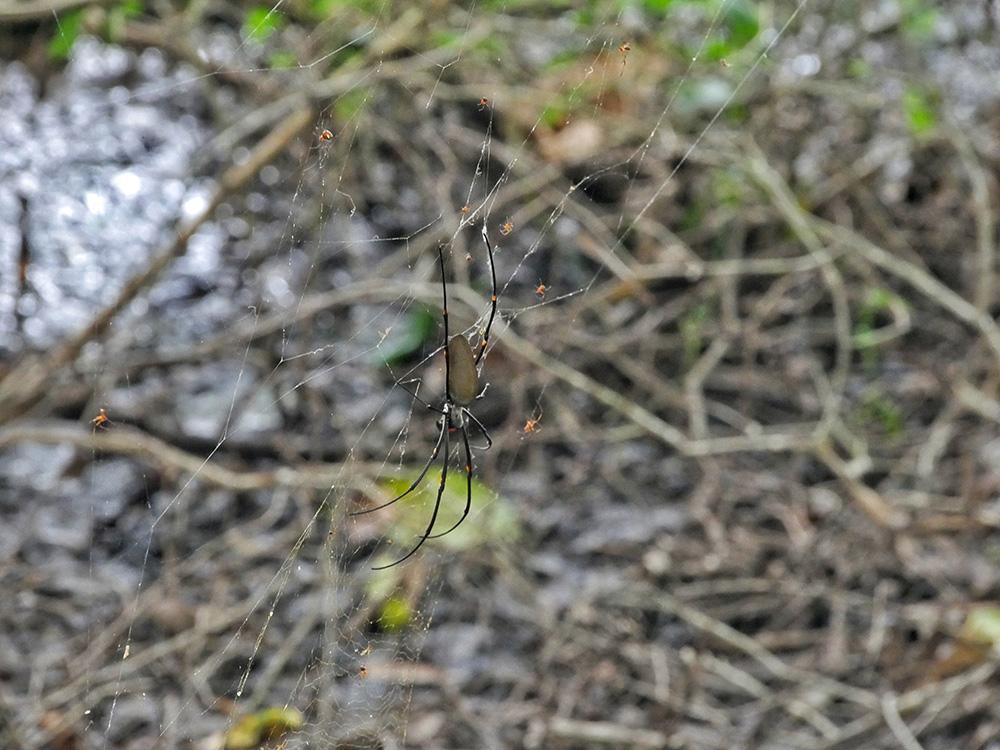 Veel grote spinnen hangen hoog in de bomen - Woodlands to Water Lilies Walk