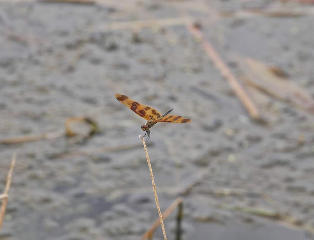 Veel libellen in de lucht - dat betekent dat het droge seizoen eraan komt