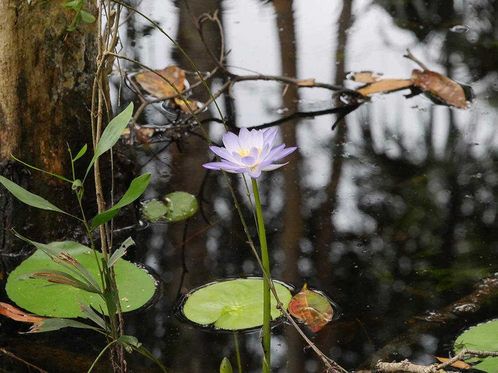 Een bloeiende waterlelie
