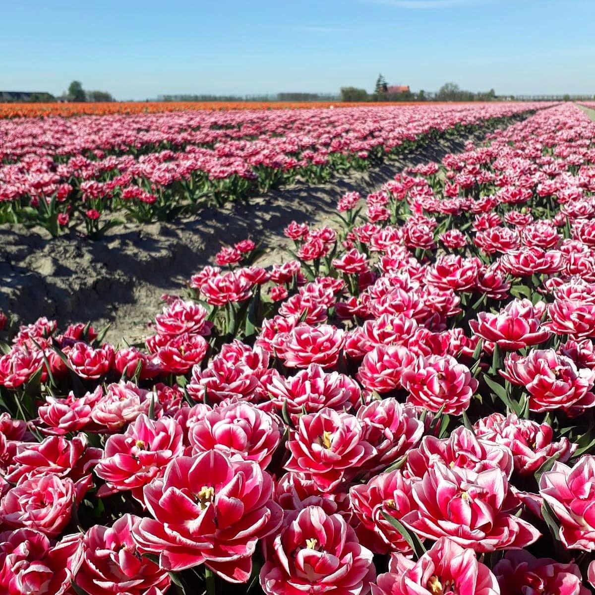 Nederlandse tulpenvelden - Interview met Johanna