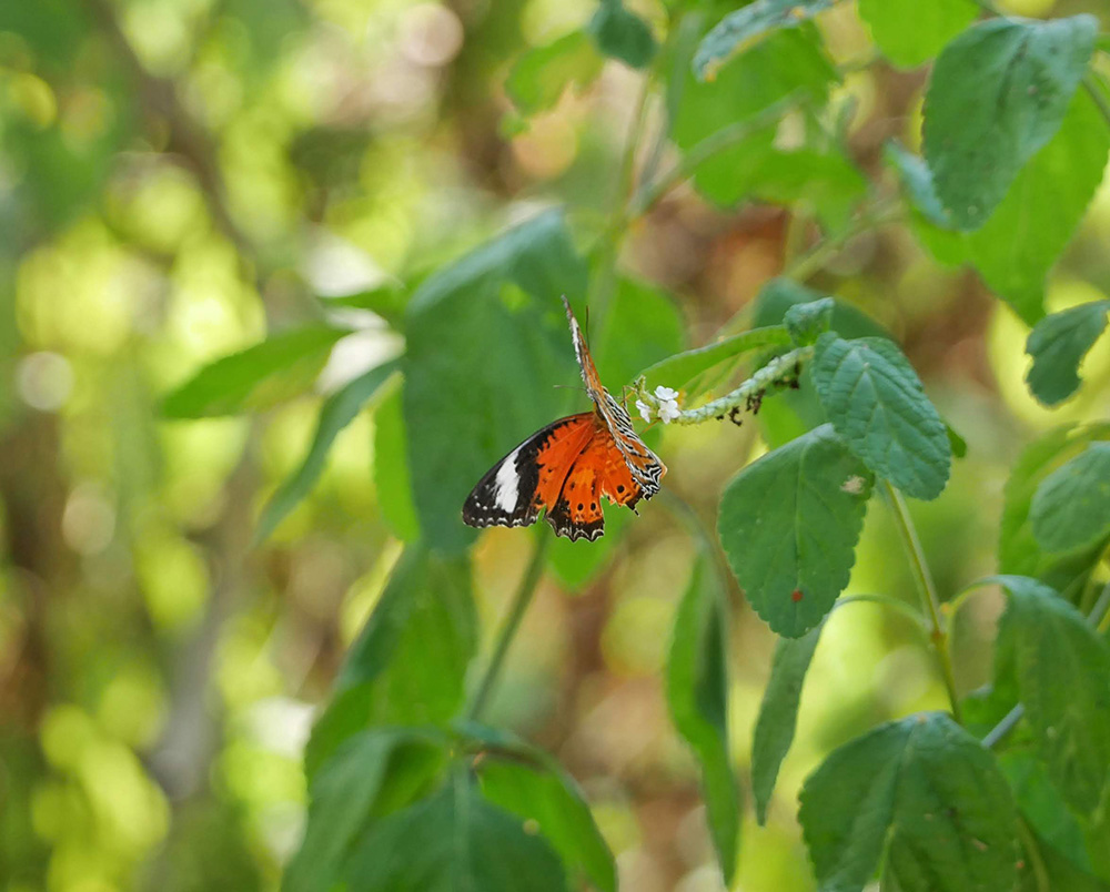 Prachtige vlinder - Leepoint Beach to Casuarina Beach