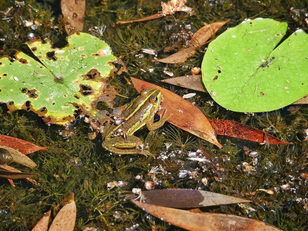 Tussen de waterlelies zagen wij verschillende kikkers