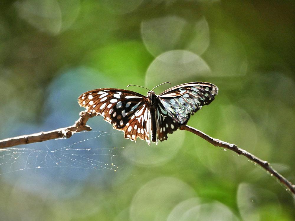 Mooie vlinder met een felblauw patroon - Monsoon Forest Walk