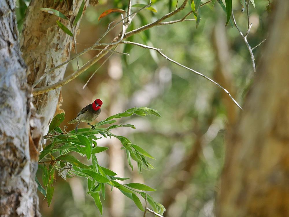 De Roodkopdwerghoningeter (Red-headed myzomela) - Monsoon Forest Walk