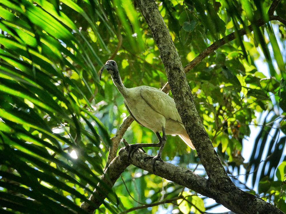 Een ibis in de bomen