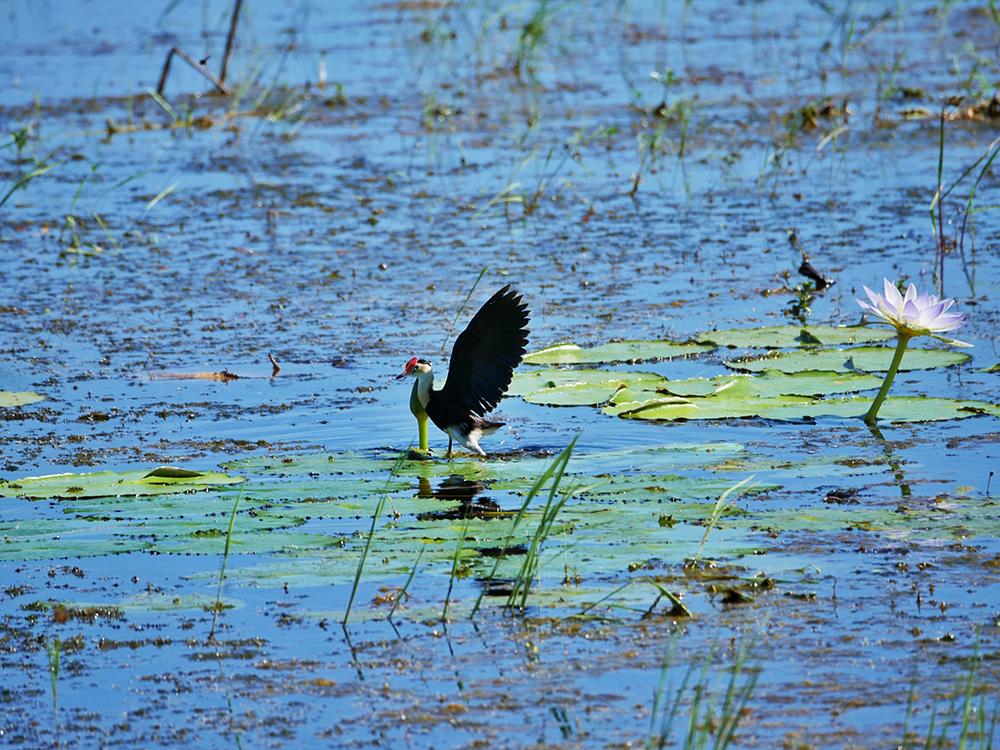 De Jacana bird