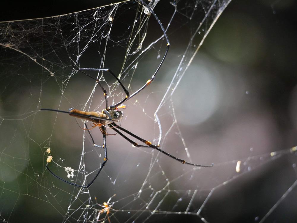 Grote spinnen tijdens de Monsoon Forest Walk