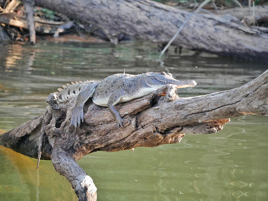 Een zoetwater krokodil geniet van het ochtendzonnetje