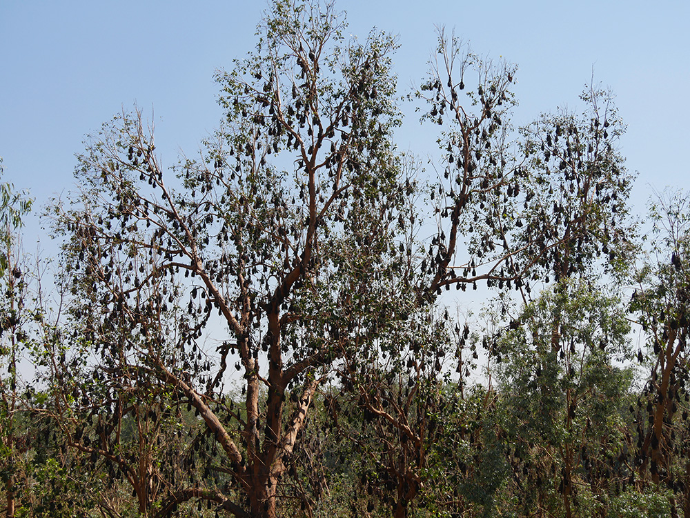 Duizenden vleermuizen in de bomen
