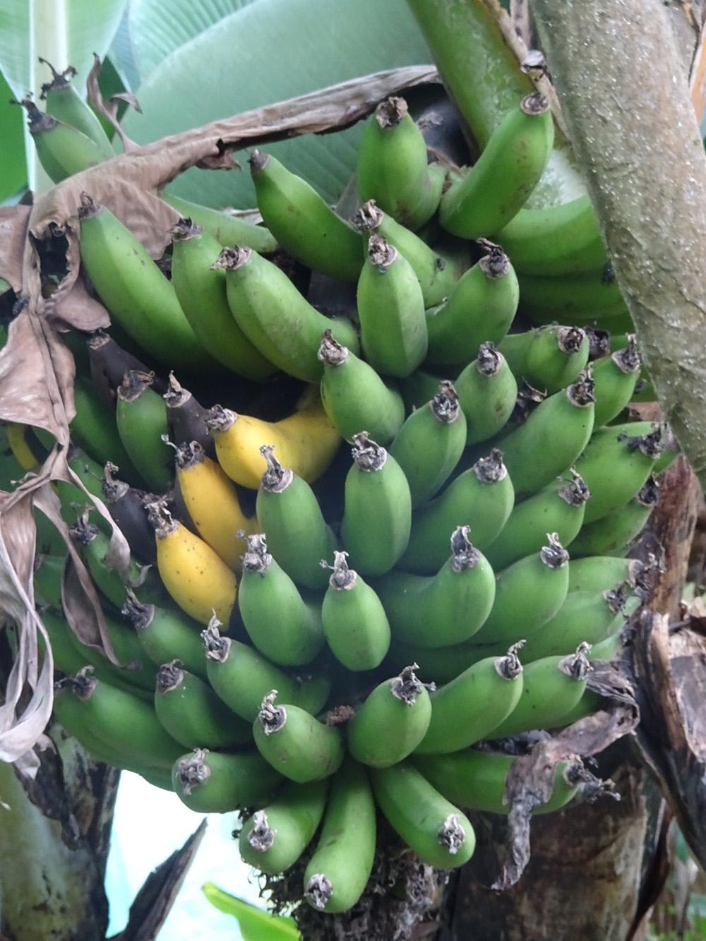 Bananen uit de tuin