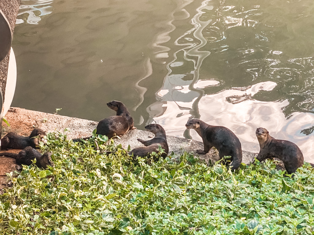 Wilde otters in Singapore